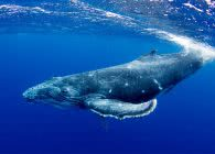 Sony: Whale in Tonga HDR